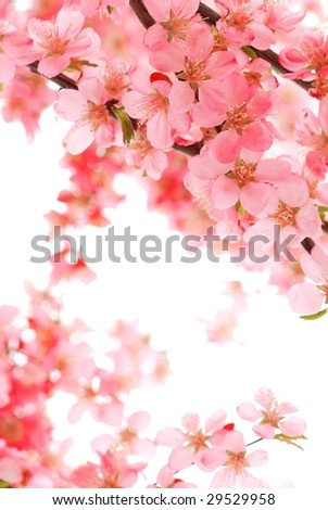 Pink Blossom Isolated on White - stock photo