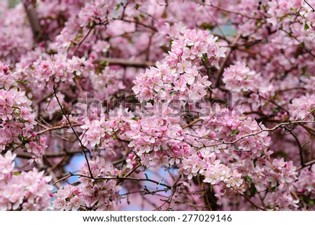 Pink blossom of apple tree - stock photo