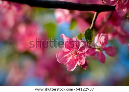 Pink blossoming apple tree - stock photo