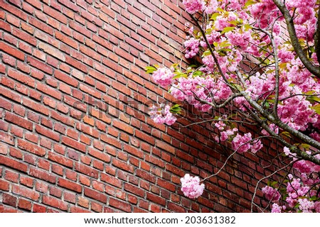 Pink blossoming tree (Prunus Triloba) against old red brick wall. - stock photo