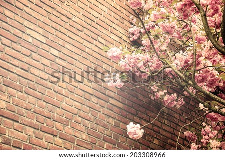 Pink blossoming tree (Prunus Triloba) against old red brick wall. Aged photo. Sepia. Sun light glow. - stock photo