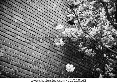 Pink blossoming tree (Prunus Triloba) against old red brick wall. Vignette frame. Aged photo. Black and white. - stock photo