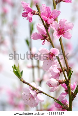 pink blossoms - stock photo