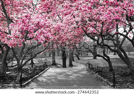 Pink Blossoms in Central Park Black and White Landscape, NEW YORK CITY - stock photo
