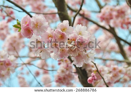 Pink blossoms in Keukenhof gardens, The Netherlands - stock photo