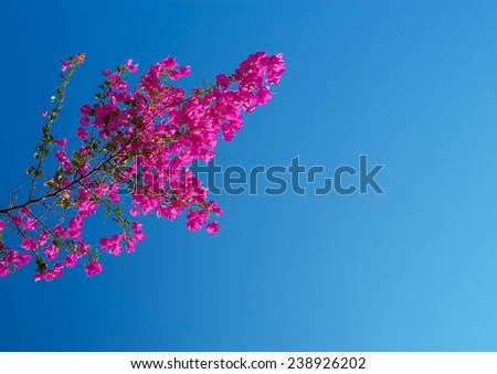 pink bougainvillea against the sky. - stock photo