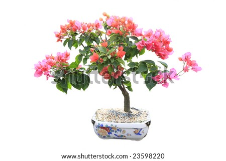 Pink Bougainvillea Bonsai tree on white - stock photo