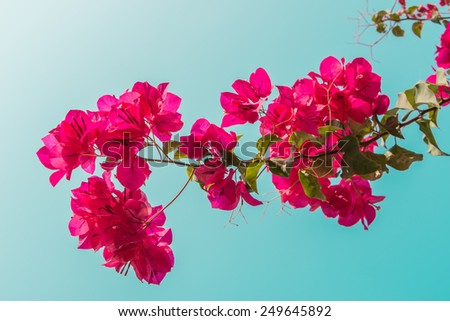pink bougainvillea flowers and blue sky in summer outdoor - stock photo