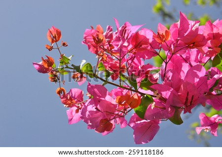 Pink Bougainvillea growing in hot climate - stock photo