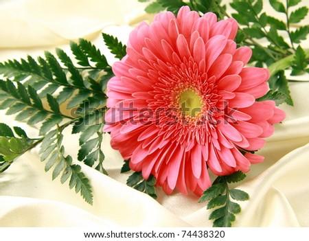 Pink bright  Gerbera on a silk background - stock photo