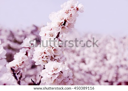 pink bright spring apricot blossoms  - stock photo