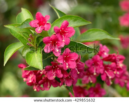 Pink bush blooming in the park - stock photo