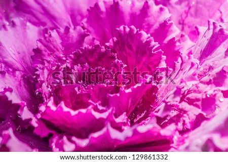 Pink Cabbage - stock photo