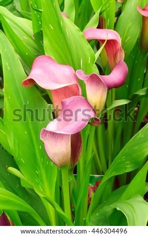 Pink Calla lilies. - stock photo
