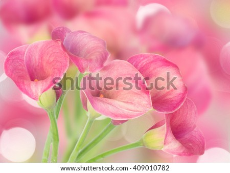 Pink Calla lilly flowers on defocused bokeh background - stock photo