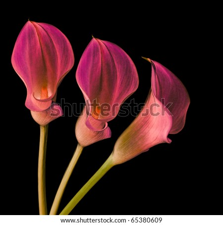 pink callas on black - stock photo
