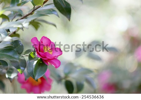 Pink Camellia Japonica flower with blurred background. Only pistils in focus. - stock photo