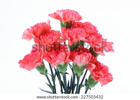 Pink carnation flower on white isolated - stock photo