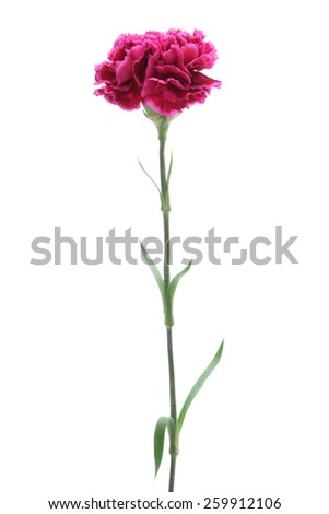 Pink carnation isolated on white background  - stock photo