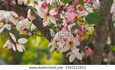 Pink cassia wishing tree pink shower stock photo royalty free pink cassia wishing tree pink shower cassia bakeriana craib colorful bouquets of mightylinksfo