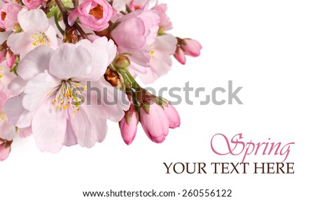 Pink cherry blossom border. Spring flowers isolated on a white background  - stock photo
