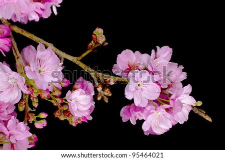 Pink Cherry Blossom Flowers isolated on black - stock photo