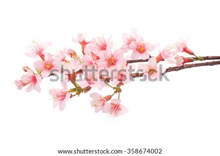 Pink Cherry blossom flowers white background - stock photo