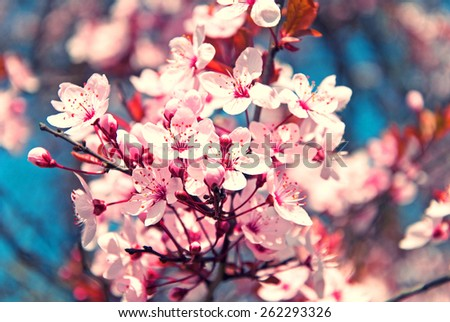 pink cherry blossom in spring time with blue sky - stock photo