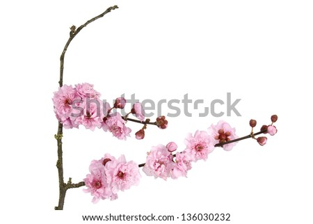 Pink cherry blossom on white background. - stock photo