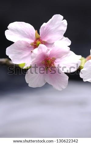 Pink cherry blossom sakura - stock photo