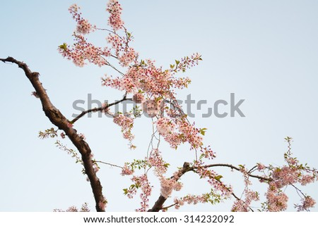 pink cherry blossom-sakura flower blooming in  Japan - stock photo
