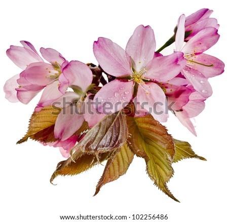 Pink cherry blossom (sakura flowers), isolated on white - stock photo