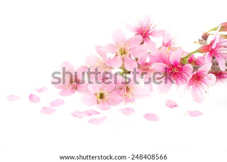 Pink Cherry blossom, sakura flowers isolated on white background - stock photo