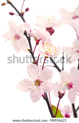 Pink cherry blossom (sakura flowers), isolated on white, shallow dof
