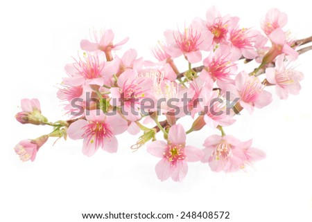 Pink Cherry blossom, sakura flowers on white background - stock photo