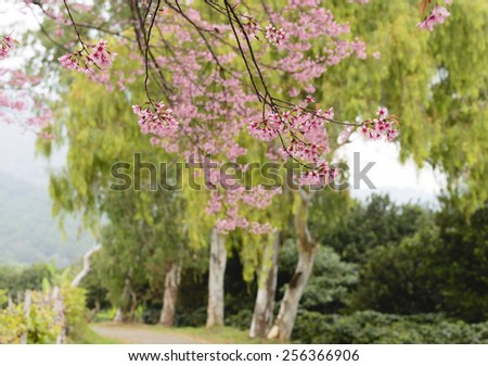 Pink  Cherry  Blossom  spread  their  beautiful   branches in-front  of   green   Eucalyptus  tree. - stock photo