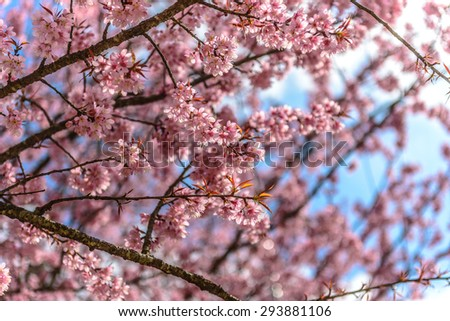 pink cherry blossom sukura flowers on a spring day