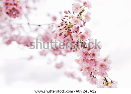 Pink cherry blossom tree in the spring in white background