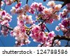 Pink Cherry blossom with nice blue sky for adv or others purpose use - stock photo