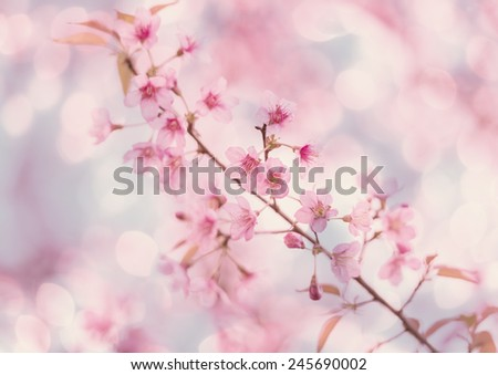 pink cherry flower blossom with bokeh