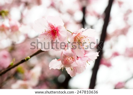 Pink cherry flowers - stock photo