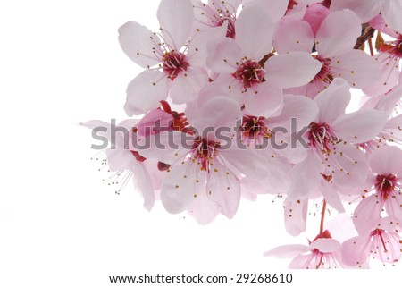 Pink chery bloom isolated on the white - stock photo