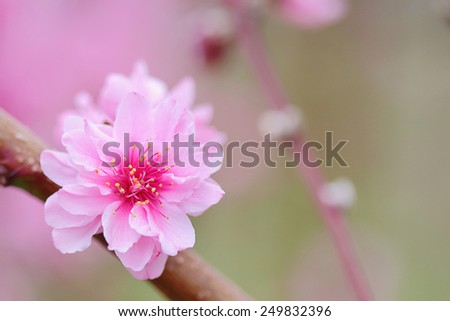 Pink Chinese plum flowers or Japanese apricot flowers, plum blossom soft focus and blurred background - stock photo