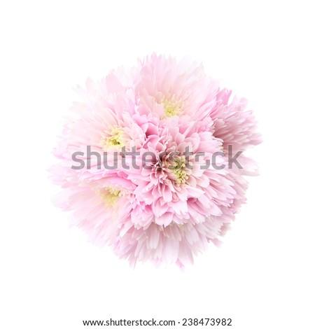Pink Chrysanthemum - stock photo