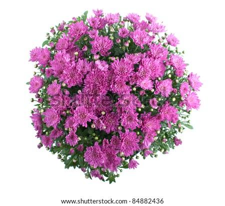 Pink Chrysanthemum Bush Isolated On White - stock photo