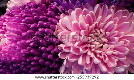 pink Chrysanthemum close up - stock photo