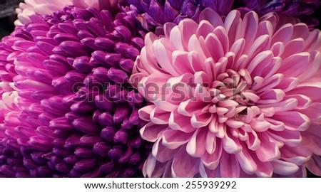 pink Chrysanthemum close up - stock photo