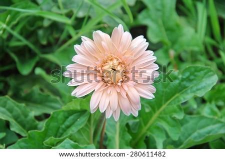 pink chrysanthemum flower - stock photo
