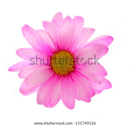 pink chrysanthemum flower isolated on white - stock photo