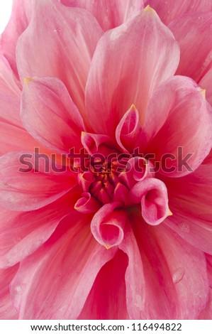 Pink chrysanthemum flower macro wide frame - stock photo
